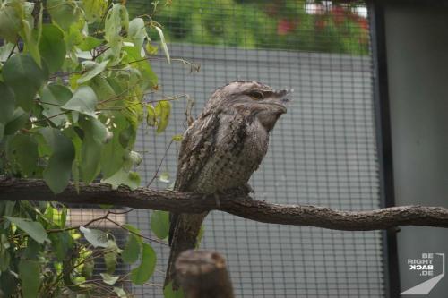 Brisbane Zoo Frogmouth