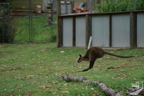 Brisbane Zoo Kangaroo