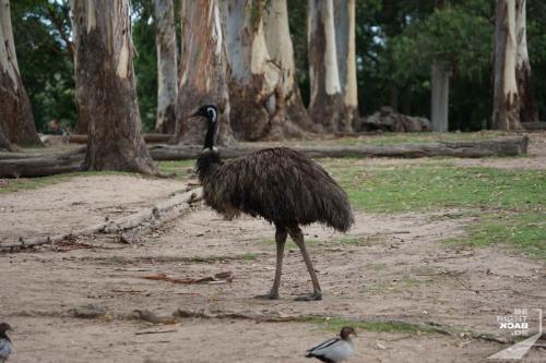 Brisbane Zoo Emu