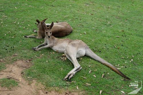 Brisbane Zoo Kangaroos