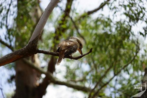 Kookaburra Brisbane