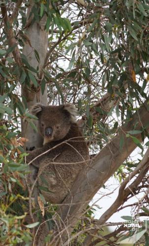 First Wild Koala