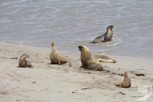 Imponiergehabe von Seelöwen