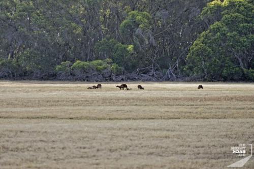 Erste Kangaroos auf Kangaroo Island