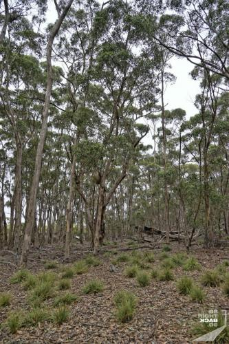 Eukalyptus Wald auf Kangaroo Island