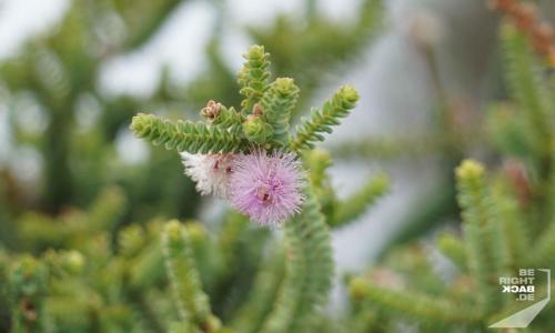 Flora Kangaroo Island