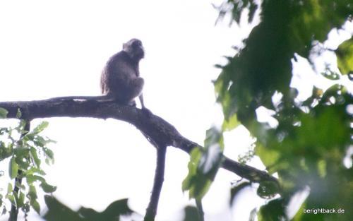 Longtail Makak in Danum Valley