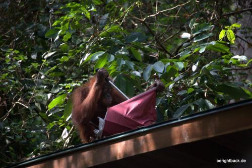 Playful Orang Utan in Sepilok