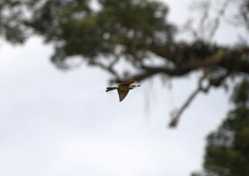 Vogel im Danum Valley