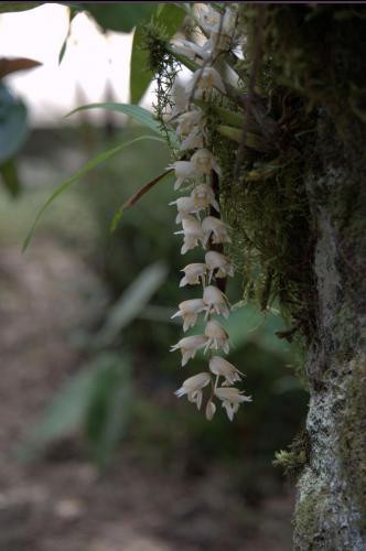 Orchidee im Kinabalu Park