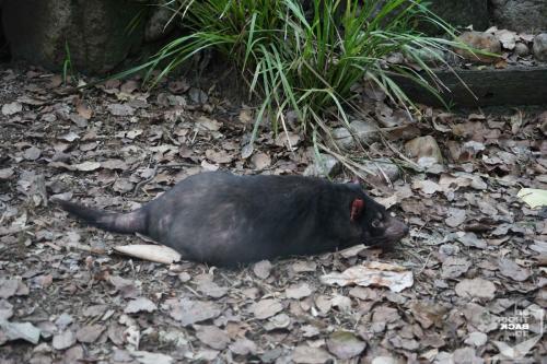 Brisbane Zoo Tasmanischer Teufel