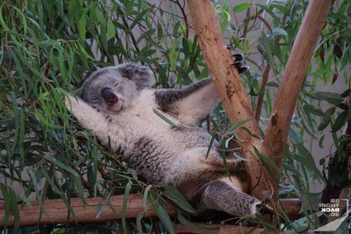Brisbane Zoo Koala