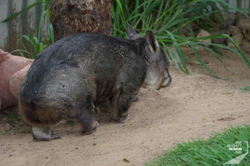 Brisbane Zoo Wombat