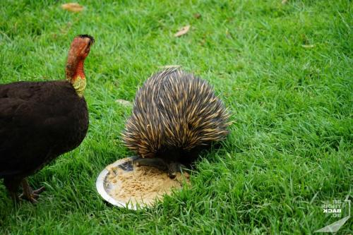 Brisbane Zoo Echidna