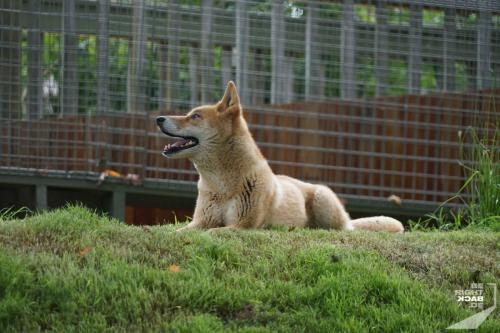 Brisbane Zoo Dingo
