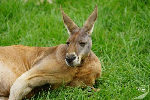 Brisbane Zoo Northern Kangaroo