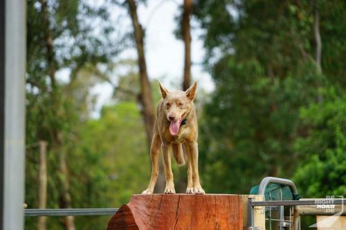Brisbane Zoo Kelpie Show