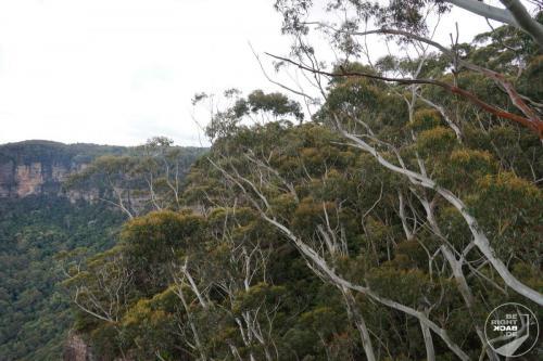 Blue Mountains Eukalyptus