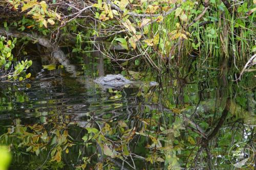 Everglades - Alligatorkopf