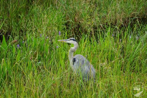 Everglades - Reiher in Gras