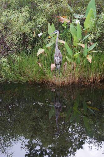 Everglades - Reiher in Spiegelung