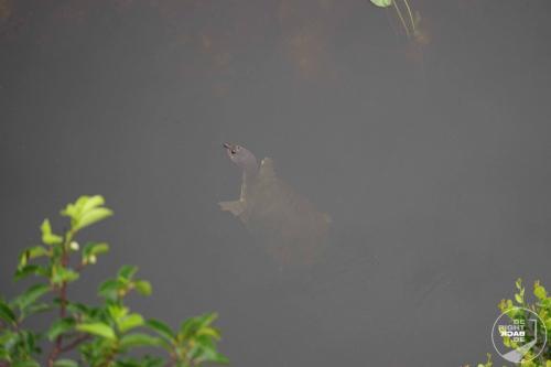 Everglaes Schildkröte