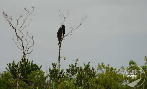 Everglades Geier