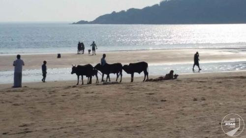 Goa - Kühe, Hund und ich