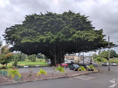 Fig Tree in Hilo