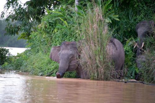 Pigmy Elefanten am Kinabantangan