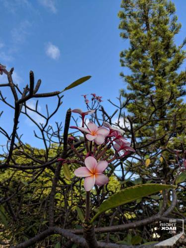 Martinique - Plumeria
