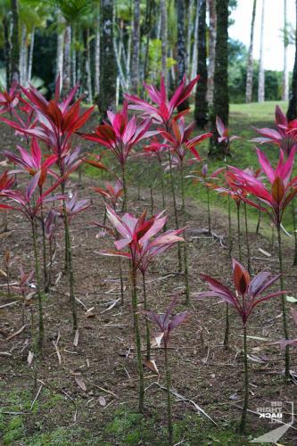 Jardin de Balata - Ti Leaves