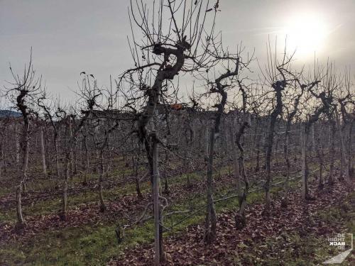 Apfelanbau im Winter