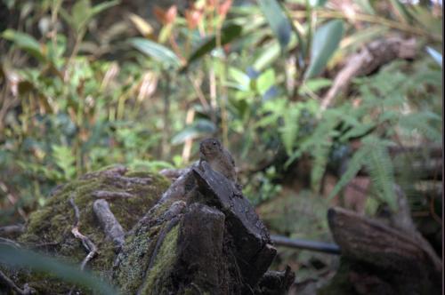 Eichhörnchen am Mount Kinabalu